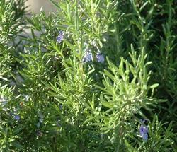 Rosemary4